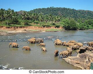banhar-se, indianas, elefantes