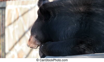 Asian black bear - Himalayan black bear