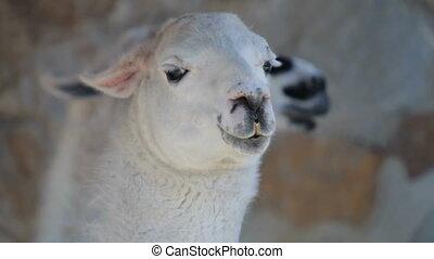 llama - Head of llama close-up