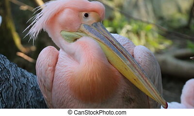 Pink Pelican close-up