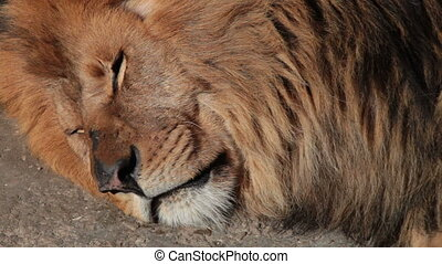 Sleeping lion - head of a sleeping lion
