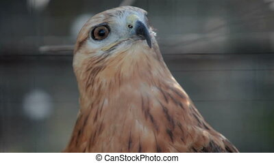 buzzard hawk close-up (buteo buteo)