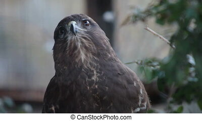 buzzard hawk close-up buteo buteo