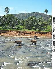 Indian elephant. - Indian elephant on Sri lanka. National...