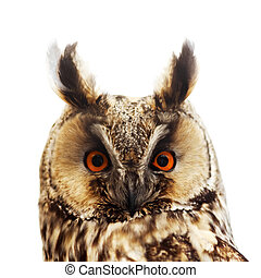 Long-eared owl portrait, isolated on white