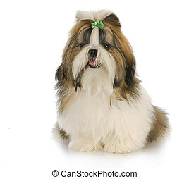 shih tzu - cute shih tzu puppy with green bow in hair with...