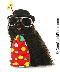 dog clown - dog dressed like a clown - corded puli wearing...