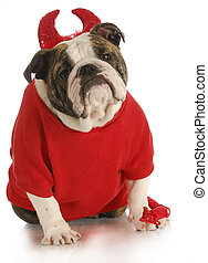 bad dog - english bulldog dressed up like a devil on white...