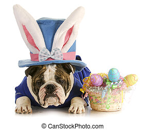easter dog - english buldog dressed up for easter on white...