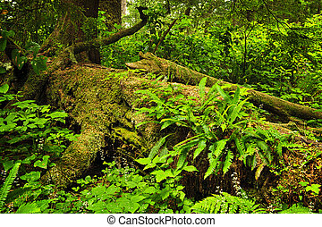 Lush temperate rainforest - Lush foliage on fallen tree in...