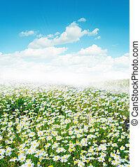 Daisy field morning sunlight