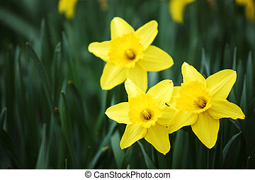 yellow narcissus in green grass