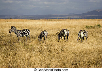 Zebras in Tanzanian National Park - Zebras in Mikumi...