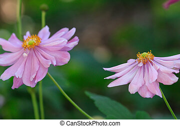 Japanese Windflowers pink - Double petalled Japanese...