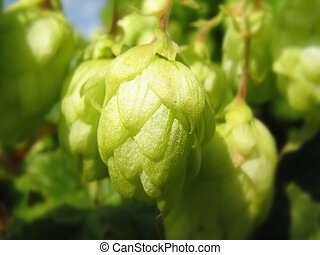 hop - Branch of green hop close-up