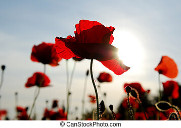 Poppies Backlit. - Wildflowers poppies backlit via strong...