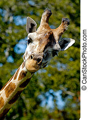 Giraff is looking - A sweet giraff is standing and looking...