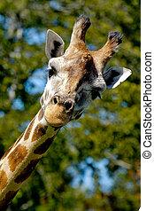 Giraff is looking - A sweet giraff is standing and looking...