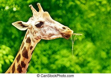 長頸鹿, 喂