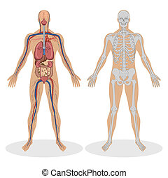 Human Anatomy of man - illustration of human anatomy of man...