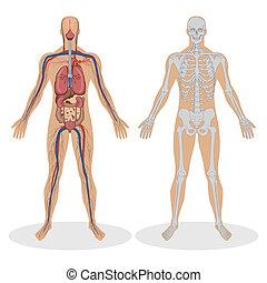 humano, anatomía, hombre