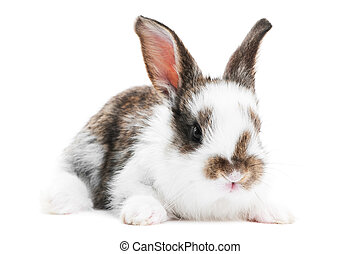 one young baby rabbit isolated - one young dark brown and...