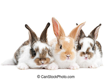 three young baby rabbit isolated - group of three baby light...