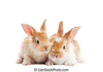 dos, joven, bebé, conejo, aislado