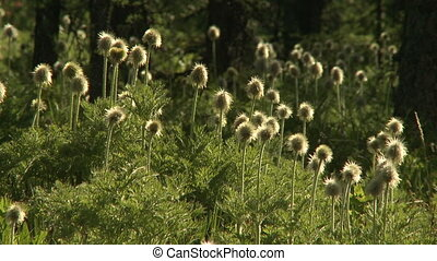 Western Anemone seed heads