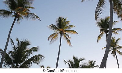 Morning palm trees. - Light from sunrise illuminates palm...