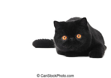 black exotic shorthair kitty cat