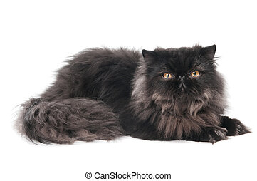 black persian kitty cat