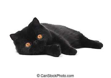 black exotic shorthair kitty cat - One lying black exotic...