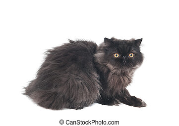 black persian longhair kitty cat