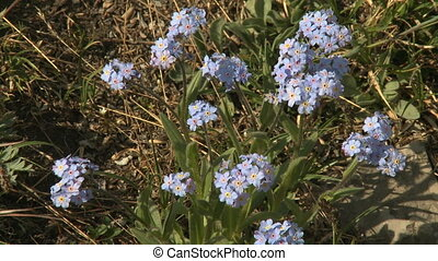 Forget Me Not alpine wilflowers
