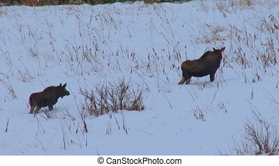 Two Moose walking uphill through sn