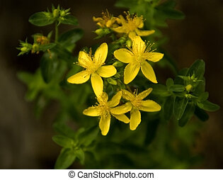 St. Johns Wart - Close up of the flowers of the ancient...