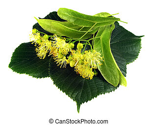 Linden inflorescence on the isolated white background