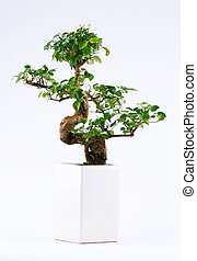 Bonzai Tree on white