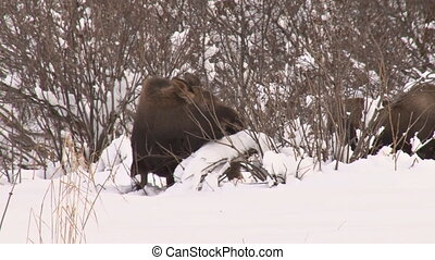 Moose calf browsing 1 - A young moose browsing on twigs in...