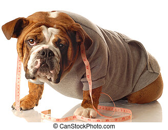 english bulldog wearing workout gear and tape measure around...