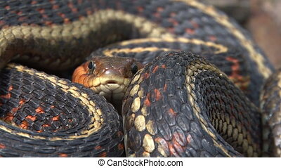 Garter Snake coiled head and tongue - Red-sided Garter Snake...
