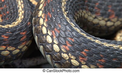 Garter Snake Coils and Scales - Red-sided Garter Snake...
