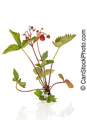 Wild Strawberry Plant - Wild strawberry plant bearing fruit...