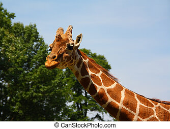 Giraffe with trees and sky in the background.