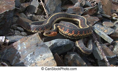 Garter Snake coiled - Red-sided Garter Snake Thamnophis...