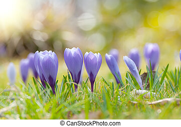 Crocuses - Purple crocuses in spring in the sunlight.. Close...