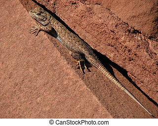 Plateau Lizard in a crack