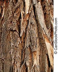 cottonwood (Populus fremontii) bark - rough cottonwood trunk