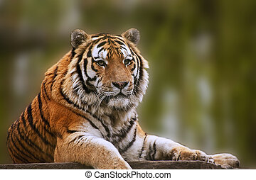 Stunning close up image of tiger relaxing on warm day -...
